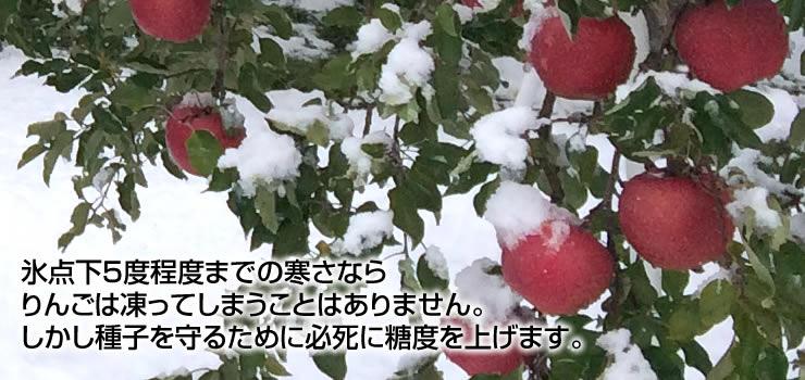 氷点下5度程度までの寒さなら りんごは凍ってしまうことはありません。 しかし種子を守るために必死に糖度を上げます。