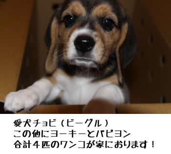 愛犬チョビ(ビーグル) この他にヨーキーとパピヨン 合計4匹のワンコが家におります!