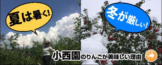 夏が暑く、冬の寒さが厳しい、小西園のりんごの美味しさの秘密です