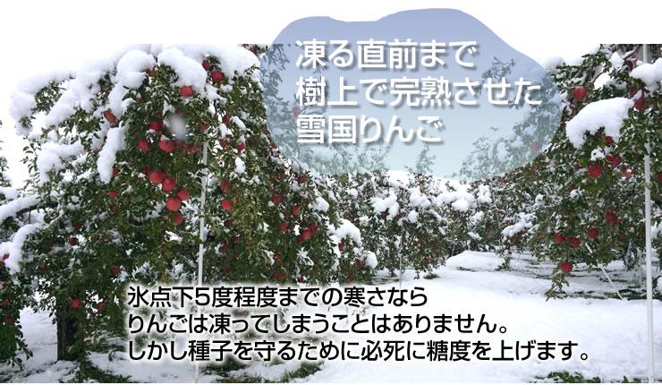 凍る直前まで 樹上で完熟させた 雪国りんご 氷点下5度程度までの寒さなら りんごは凍ってしまうことはありません。 しかし種子を守るために必死に糖度を上げます。