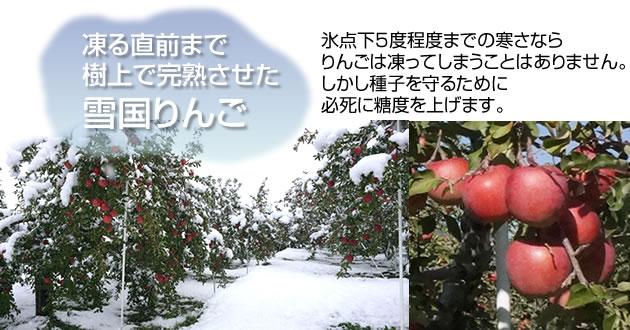 凍る直前まで 樹上で完熟させた 雪国りんご 氷点下5度程度までの寒さなら りんごは凍ってしまうことはありません。 しかし種子を守るために 必死に糖度を上げます。